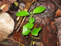 Common buckthorn seedling