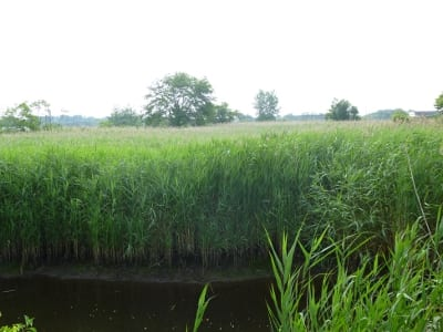 A tidal marsh complex shows signs of invasion by Phragmites.