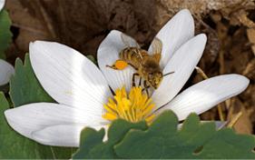 Andrenid bee - (Sanguinaria canadensis).