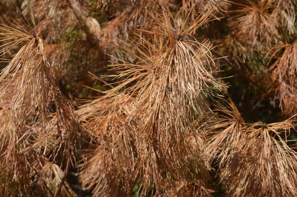 Insect Pest Alert: Turpentine Beetles Infest Landscape White Pine